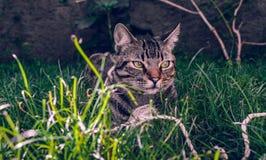 巴西人拿着他在草的Shorthair猫喜爱的绳子玩具 免版税图库摄影