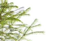 西伯利亚云杉分支在自然白色背景的 免版税图库摄影