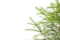西伯利亚云杉分支在自然白色背景的 图库摄影