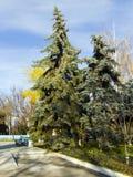 西伯利亚云杉在秋天公园 免版税库存照片