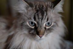 西伯利亚人内娃化妆舞会接近的猫面孔-在一模糊1的深蓝眼睛 4开口背景 免版税库存照片