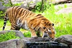西伯利亚人孟加拉老虎 免版税库存照片