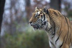 西伯利亚人或阿穆尔河老虎画象  图库摄影