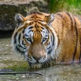 西伯利亚人阿穆尔河老虎豹属底格里斯河底格里斯河画象在夏天 免版税库存照片