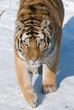 西伯利亚偷偷靠近的老虎 库存照片