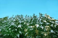 西伯利亚冬天森林 库存图片