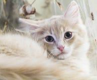 西伯利亚品种奶油色小猫两个月 库存照片