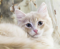西伯利亚品种奶油色小猫两个月 免版税库存照片