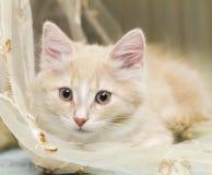 西伯利亚品种奶油色小猫两个月 免版税库存图片