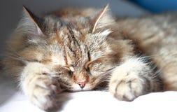 西伯利亚品种,三色版本布朗猫  免版税图库摄影