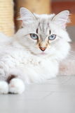 西伯利亚品种, neva化妆舞会版本白色猫  免版税库存照片