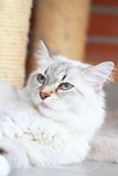 西伯利亚品种, neva化妆舞会版本白色猫  库存照片