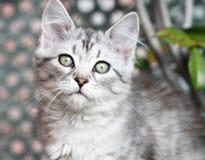 西伯利亚小猫,银色版本,小狗 免版税库存照片