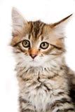 西伯利亚小猫 免版税库存图片