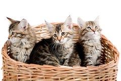 西伯利亚小猫 库存照片