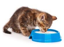 西伯利亚小猫 库存图片