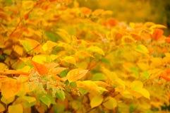 西伯利亚山茱萸(晨曲的萸肉)与红色和黄色叶子在秋天 免版税库存图片