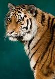 西伯利亚晒日光浴的老虎 免版税图库摄影