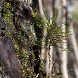 西伯利亚杉木,特写镜头新芽在大树附近的 生态自然风景 库存图片