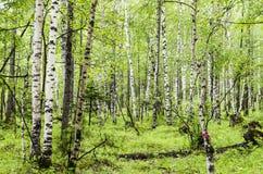 西伯利亚桦树森林在布里亚特共和国的Arshan地区 库存照片