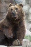 西伯利亚棕熊 免版税图库摄影