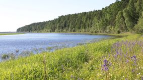 西伯利亚河Ob的海岸 北方针叶林、野花和植物 股票录像