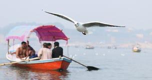 西伯利亚海鸥 库存图片