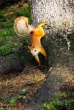 西伯利亚灰鼠 免版税库存照片