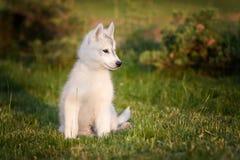 西伯利亚爱斯基摩人一只小的逗人喜爱的小狗  免版税图库摄影