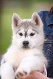 西伯利亚爱斯基摩人一只小的逗人喜爱的小狗  库存照片