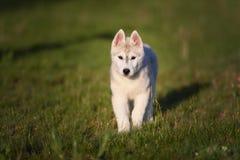 西伯利亚爱斯基摩人一只小的逗人喜爱的小狗  库存图片