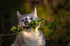 西伯利亚爱斯基摩人一只小的逗人喜爱的小狗  图库摄影