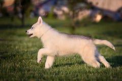 西伯利亚爱斯基摩人一只小的逗人喜爱的小狗  免版税库存照片