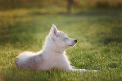 西伯利亚爱斯基摩人一只小的逗人喜爱的小狗  免版税库存图片