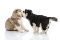 西伯利亚爱斯基摩人两只小狗  免版税库存照片