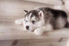 西伯利亚爱斯基摩人品种一条小狗在木地板上的 库存图片
