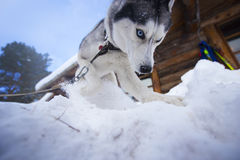 西伯利亚爱斯基摩人品种被触犯的狗  免版税库存照片
