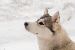 西伯利亚爱斯基摩人在冬天森林里室外在雪 图库摄影