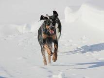 西伯利亚爱斯基摩人小狗使用与他的雪的伙计 免版税库存图片