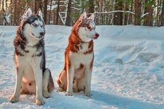 西伯利亚爱斯基摩人工作犬 多壳的狗坐雪在冬天森林里并且观看得殷勤地 图库摄影