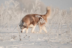西伯利亚爱斯基摩人打喷嚏狗的红色和的白色一张陷井画象在雪草甸 库存照片