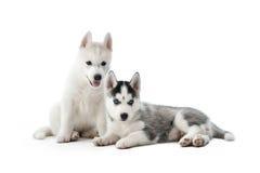 西伯利亚爱斯基摩人狗两只逗人喜爱的小的小狗  免版税库存图片