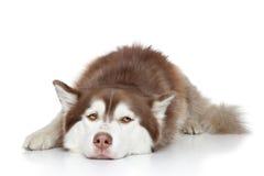 西伯利亚爱斯基摩人狗休息 免版税图库摄影