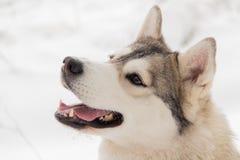 西伯利亚爱斯基摩人狗在冬天森林里室外在雪 免版税库存照片