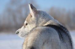 西伯利亚爱斯基摩人狗小狗多雪的枪口外形 库存照片