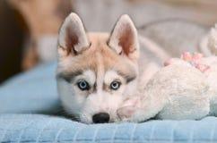 西伯利亚爱斯基摩人狗小狗灰色和白色蓝色雏鹰画象 库存图片