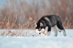 西伯利亚爱斯基摩人狗小狗黑白跃迁在雪草甸 图库摄影