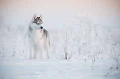 西伯利亚爱斯基摩人狗灰色和白色画象在雪草甸 库存照片