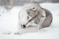 西伯利亚爱斯基摩人狗灰色和白色chewnig一张骨头画象在雪草甸 图库摄影