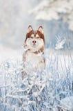 西伯利亚爱斯基摩人狗纵向在冬天 免版税库存照片